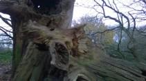 MistleyBlasted Oak1