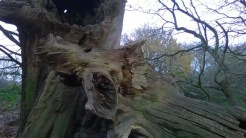 MistleyBlasted Oak1