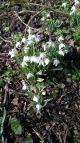 Hedingham Castle Snowdrops (1)