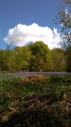 Bluebells at Hillhouse Wood West Bergholt (15)