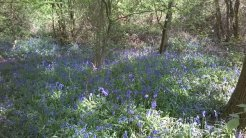 Bluebells at Hillhouse Wood West Bergholt (5)