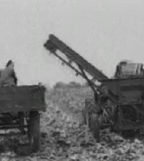 Sugar Beet harvesting in 1948