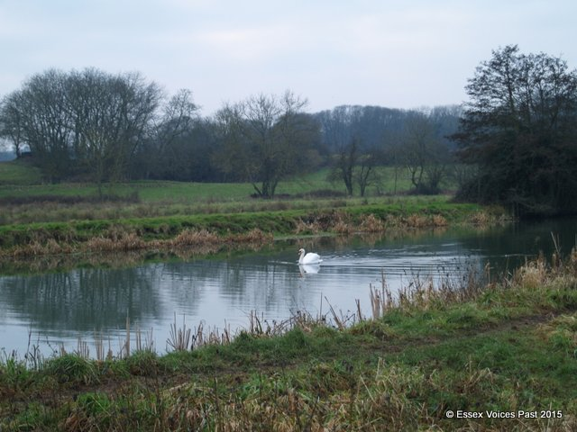 Swan on the River Stour, Sudbury