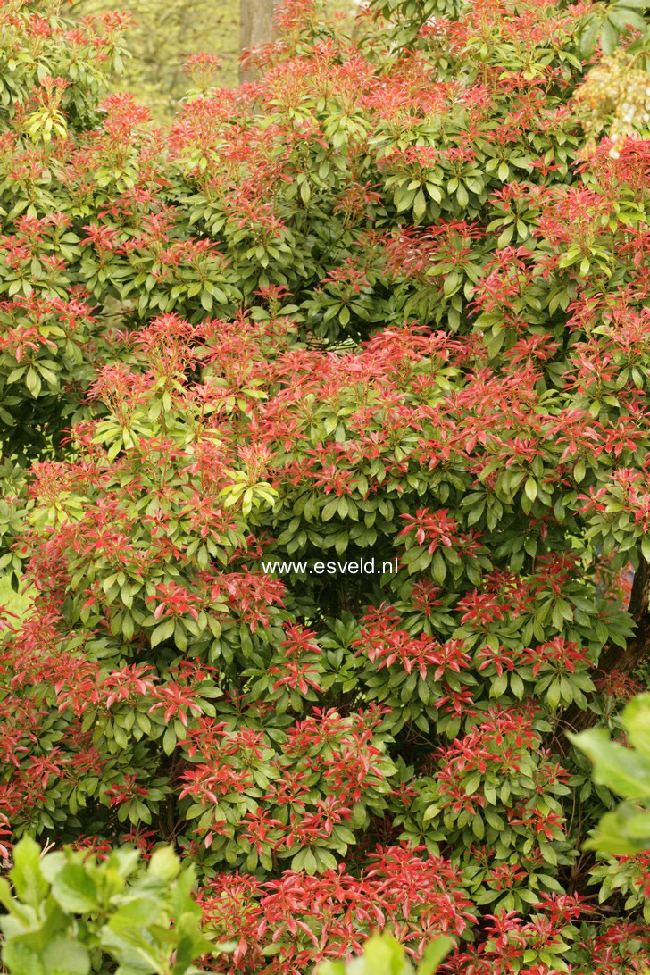 Fullsize Of Mountain Fire Pieris