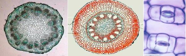 Nas aulas de morfologia e fisiologia vegetal, você vai aprender a elaborar várias lâminas histológicas de diferentes partes dos vegetais. Você vai aprender a identificar os diferentes tipos de tecidos e células que constituem as plantas.