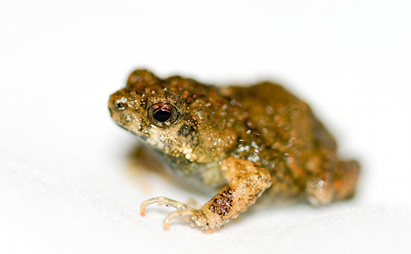 Frogs' Irrational Choices Could Reform Understanding Of Animal Mating