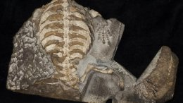 A new fossil of the oldest proto turtle, Eunotosaurus, discovered by then 8-year-old Kobus Snyman on his father's farm in the Karoo in South Africa, suggests the turtle shell initially evolved not for protection, but rather as an adaptation for burrowing. The broadened ribs and the beginnings of the turtle shell provided Eunotosaurus with a stable base from which it could use its large hands and spatula-shaped claws to burrow into the ground to escape the harsh arid environment found in South Africa 260 million years ago. Credit Tyler R. Lyson