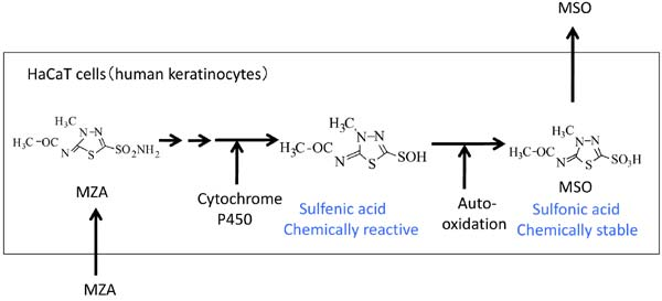 The Metabolism of Methazolamide in Immortalized Human Keratinocytes
