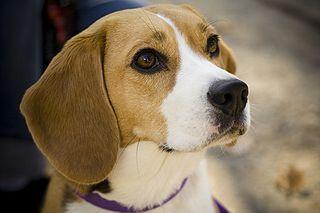 Quelle est la race du chien Snoopy ? Merci!