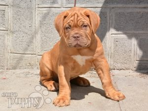 Image For Dogue De Bordeaux Puppies For Sale In Pa