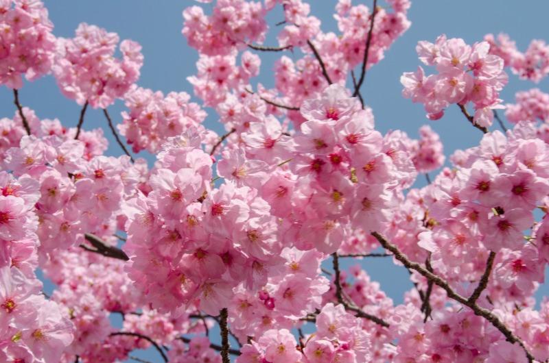Sakura Falling Live Wallpaper Finding Cherry Blossoms In Tokyo S Ueno Park Ever In Transit