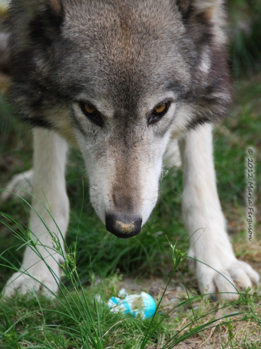 3d Wallpaper Gift Springtime Wolves At Wolf Howl Animal Preserve By Maria