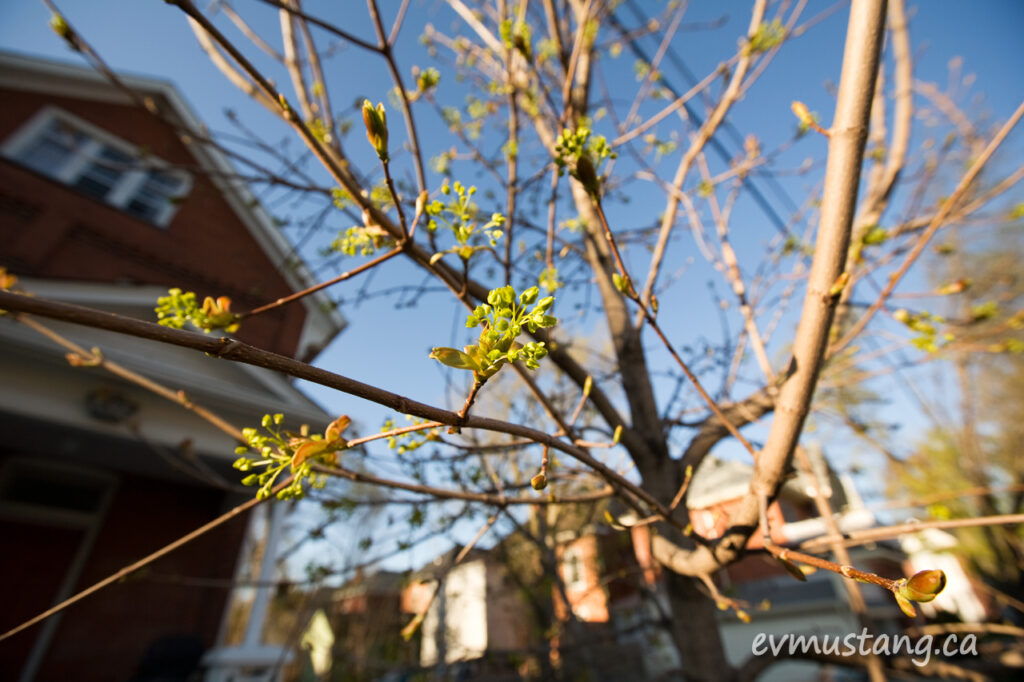 image of Manitoba Maple buds