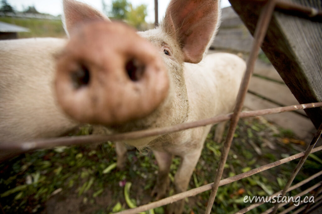 image of pig nose