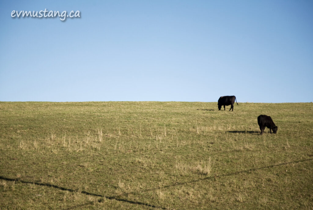 image of two cows on a hill side