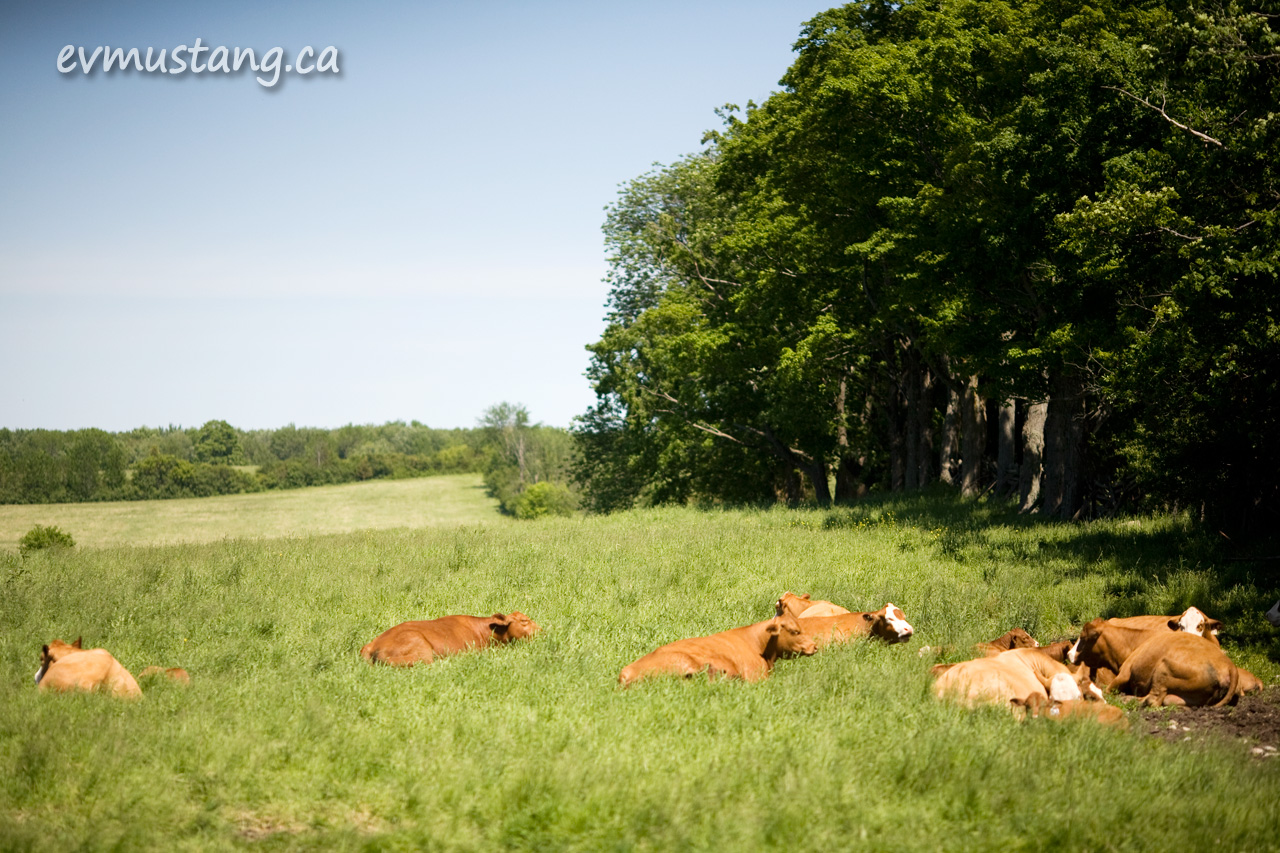 image of cows napping