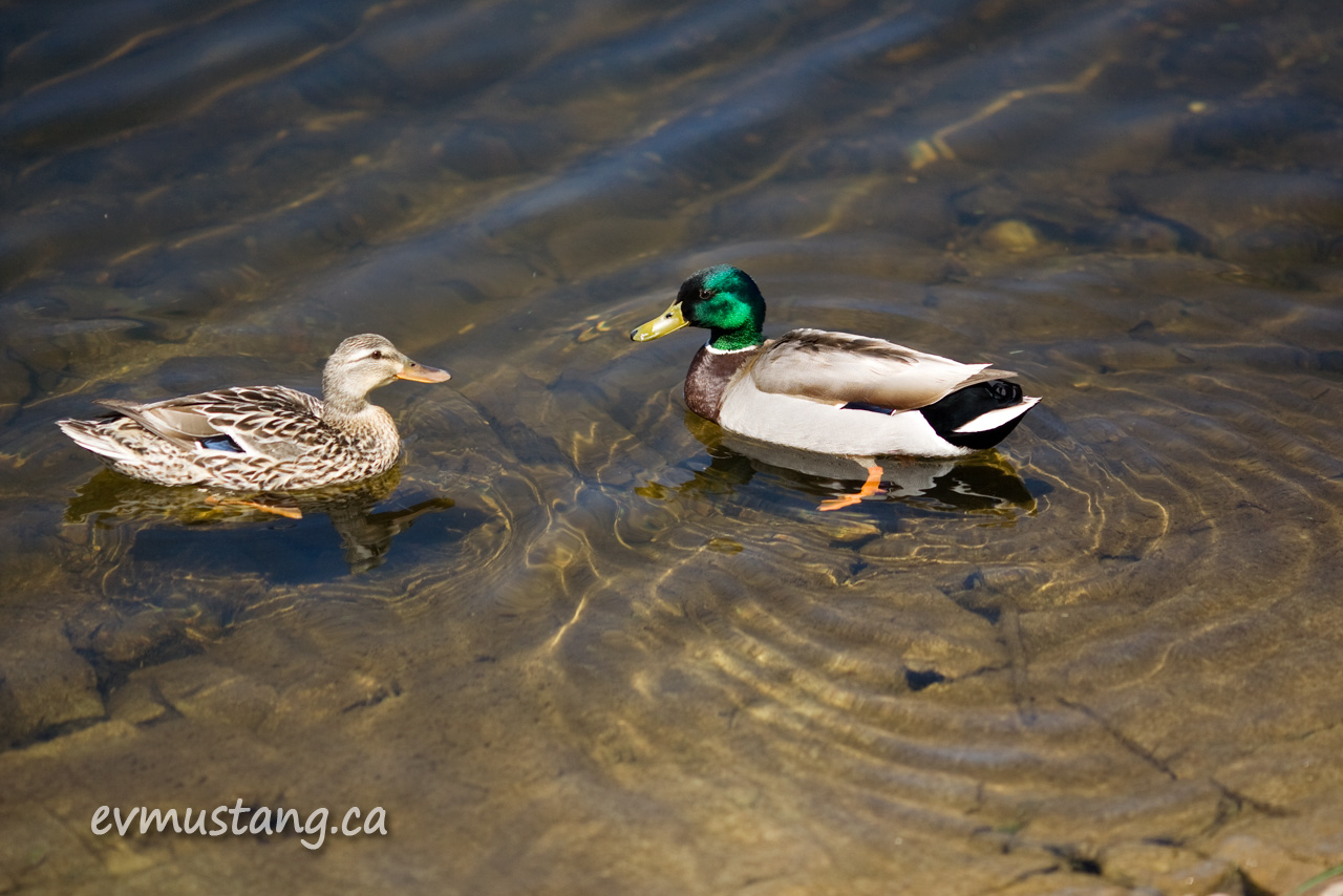 image of two ducks in water
