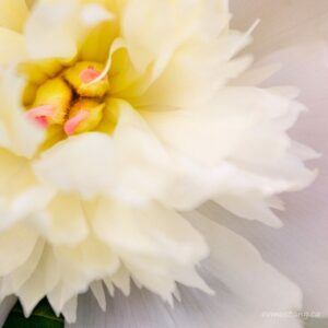 image of photograph of peony flower by esther vincent