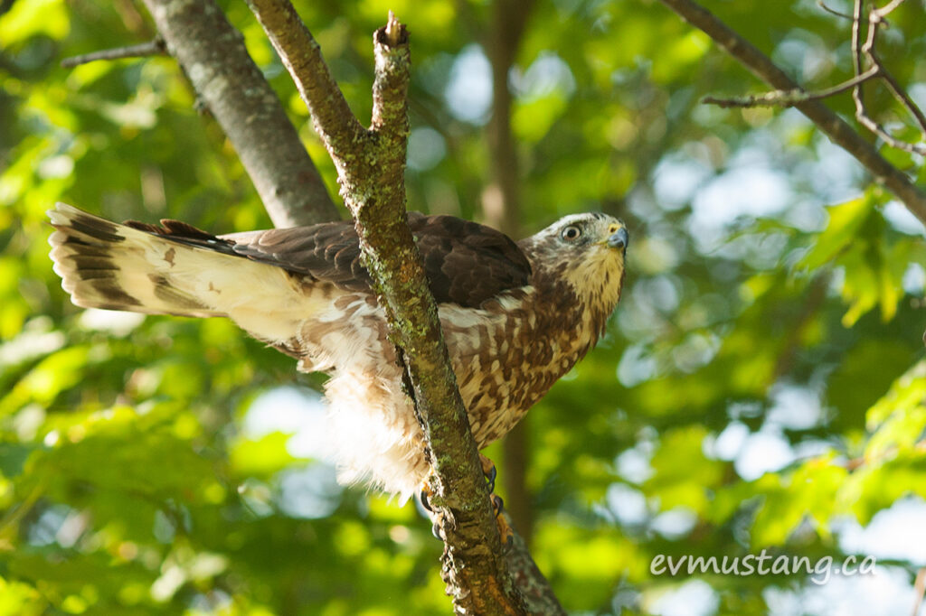 image of broad winged hawk on branch
