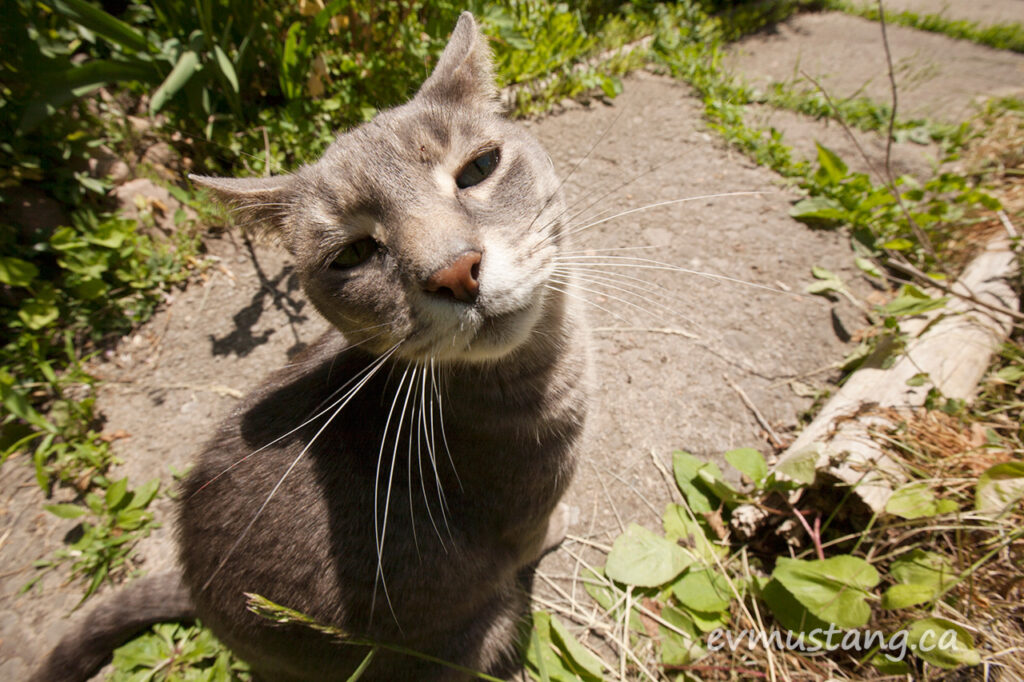 image of oppenheimer the grey tabby sitting in the garden looking into the camera