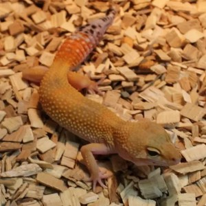 High Yellow Leopard Gecko - Eublepharis macularius