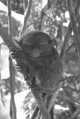 Letter from a Tarsier