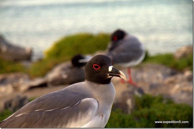 Mouette à queue fourchue,  Galapagos, Equateur.