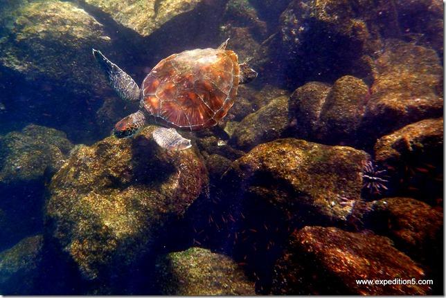 Une tortue marine passe sous notre masque, Galapagos, Equateur.
