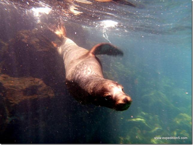 Un lion de mer vient jouer avec moi, Galapagos, Equateur.