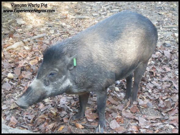 visayan warty pig, conservation, biodiversity, negros occidental