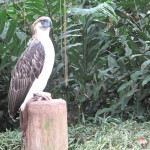 Philippine Eagle Pamana to be Released in the Wild
