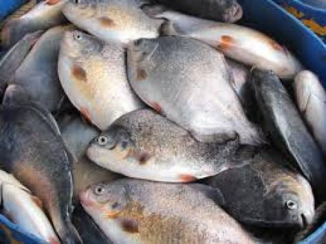 Tilapia fish farming guide in india