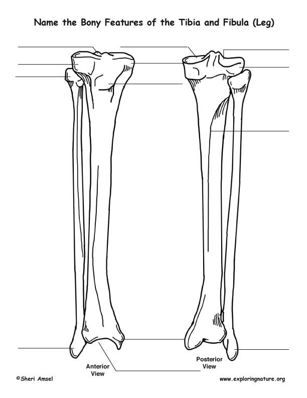tibula fibula diagram