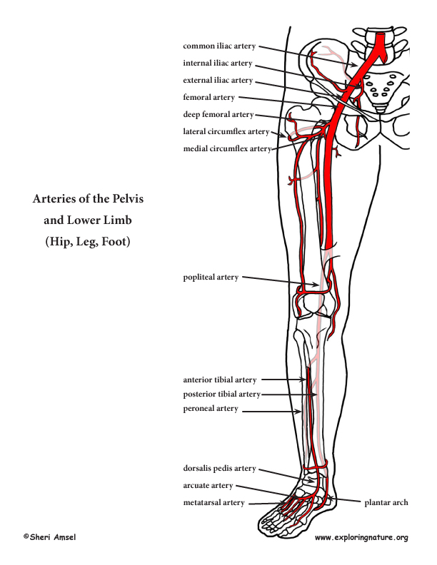 leg arteries diagram of the right