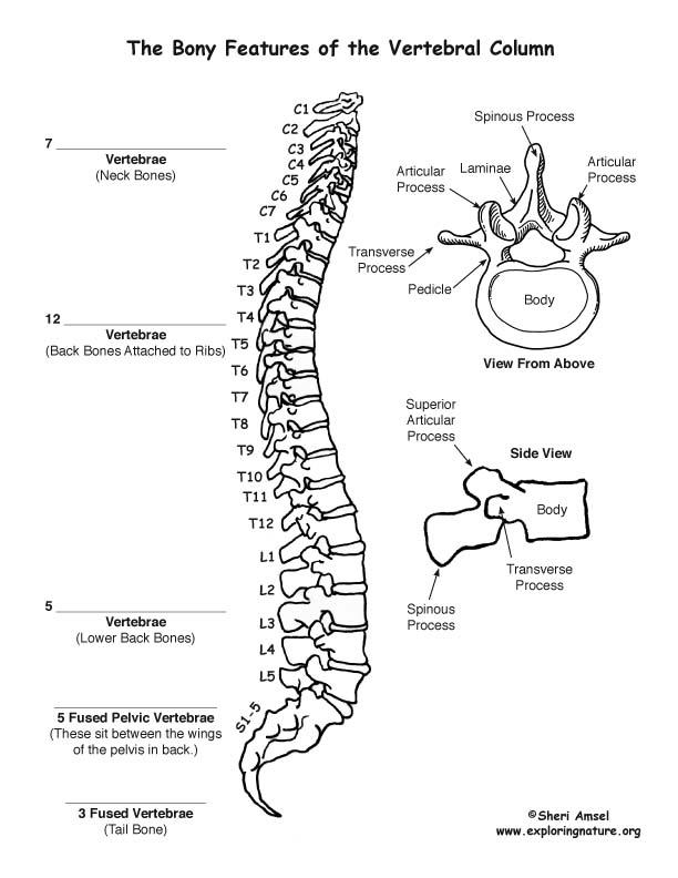 Vertebral Column (Backbone) Labeling Page