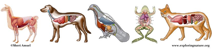 Animal Anatomy (Veterinary Diagrams)