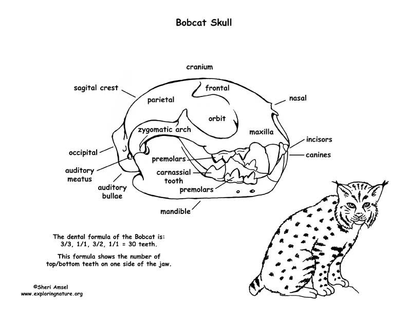 diagram cheetah anatomy diagram