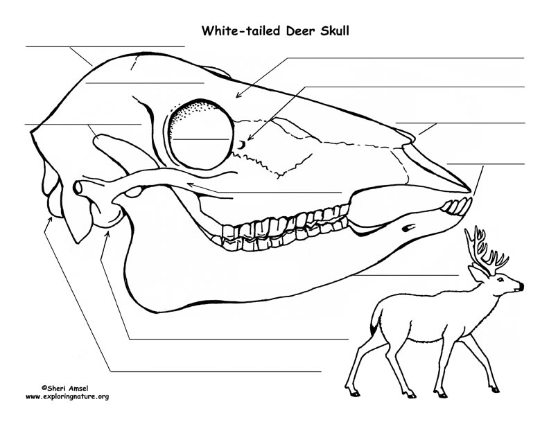 deer teeth diagram