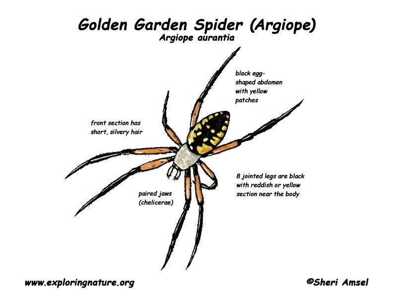 spider arthropoda diagram