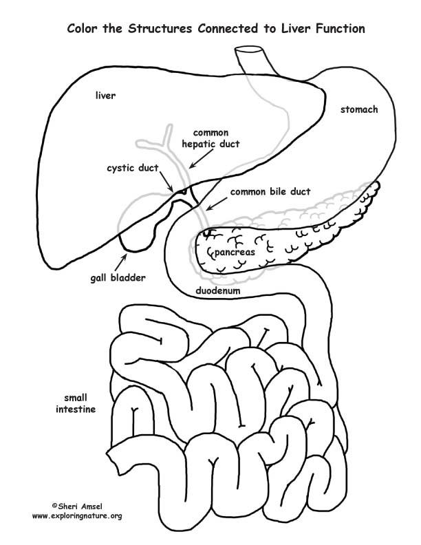 diagram of gallstone pain