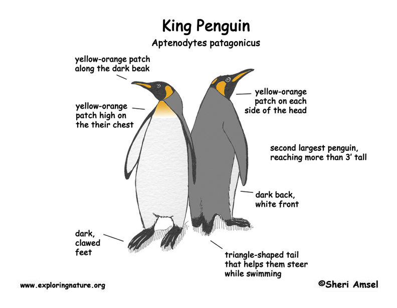little penguin diagram