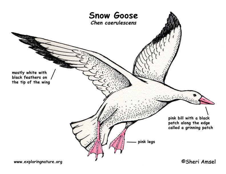 goose feather diagram