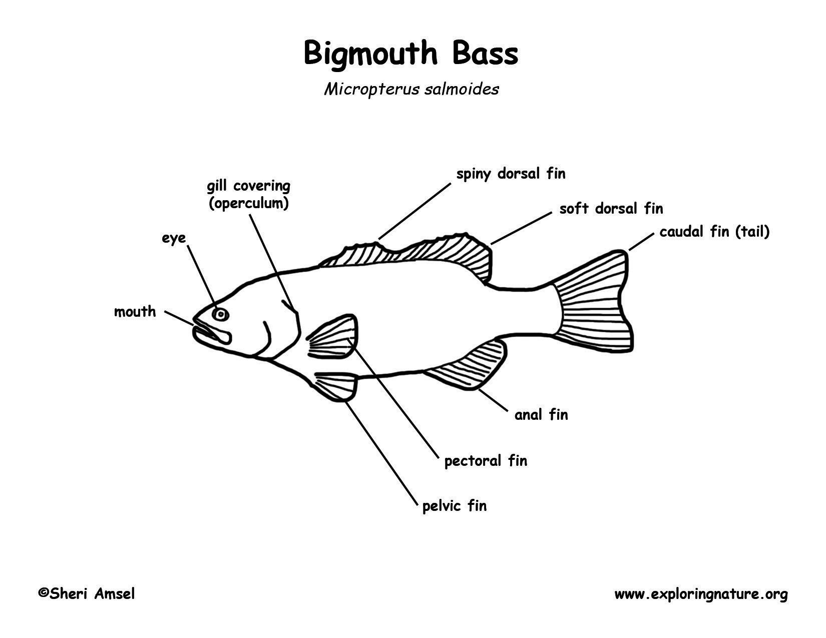 bass fish diagram