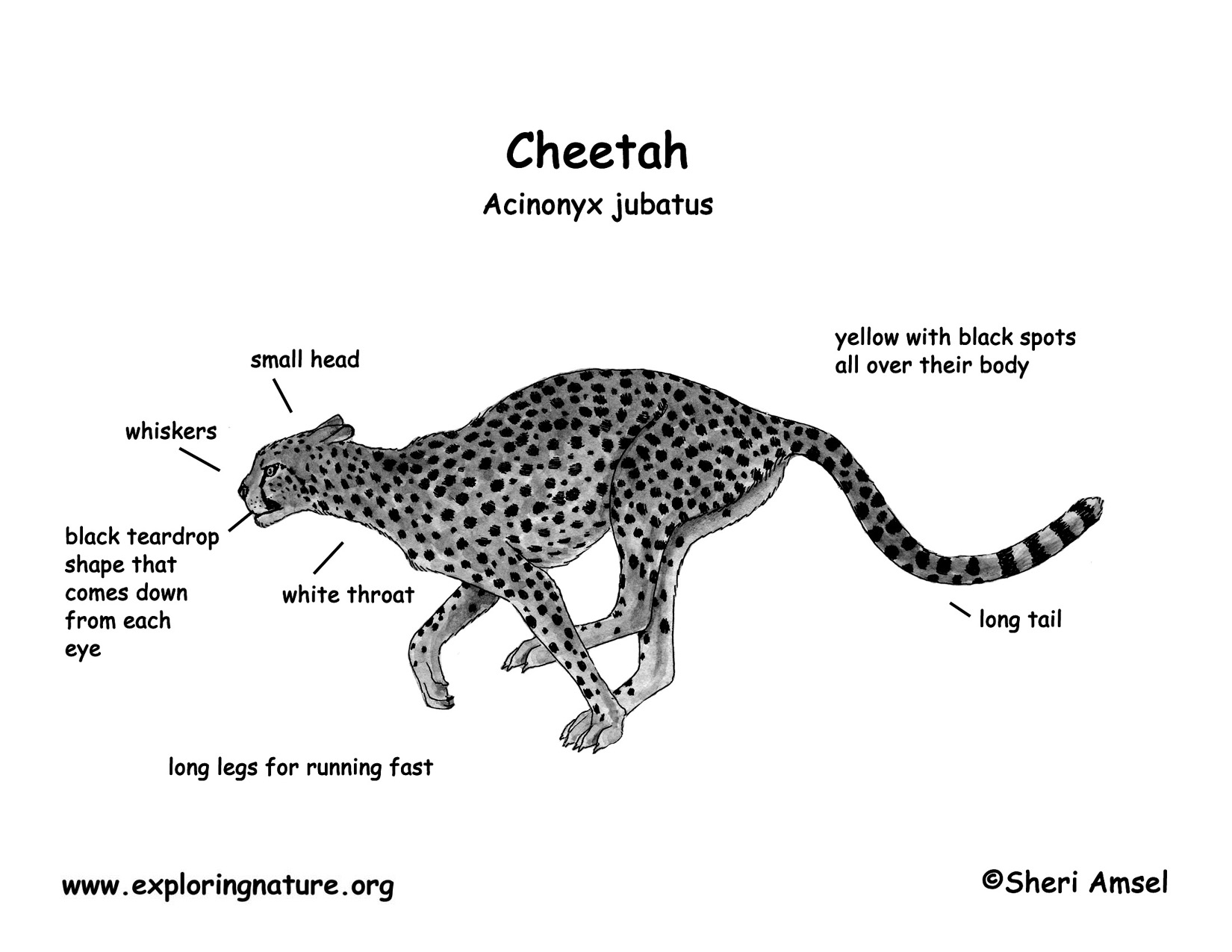 diagram of cheetah