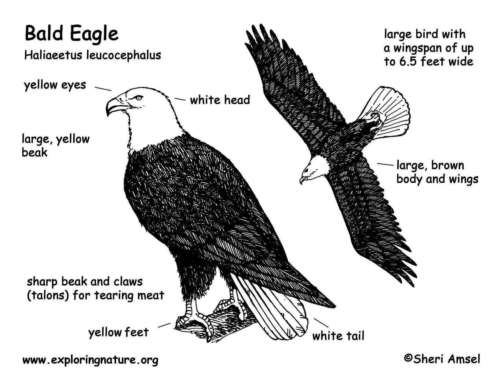 eaglebaldbwdiagram150