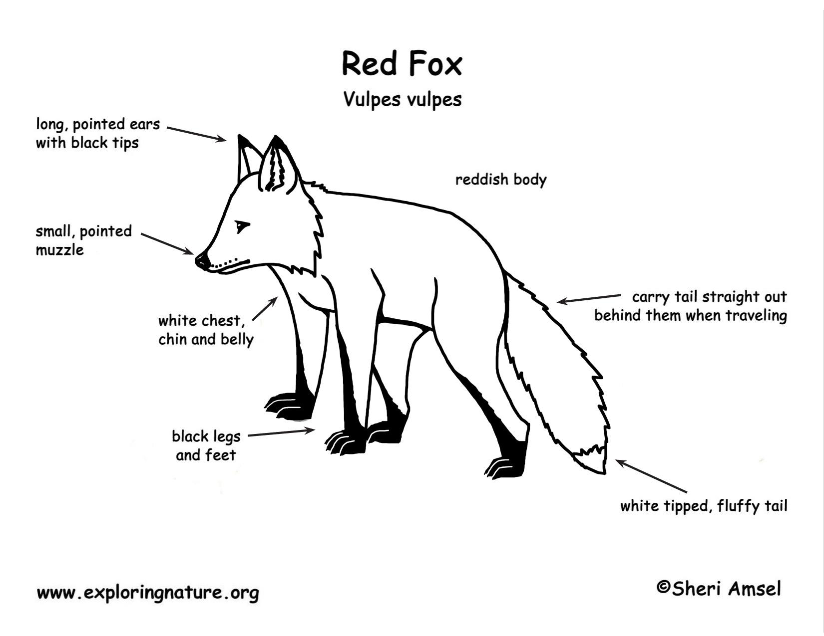 arctic fox diagram