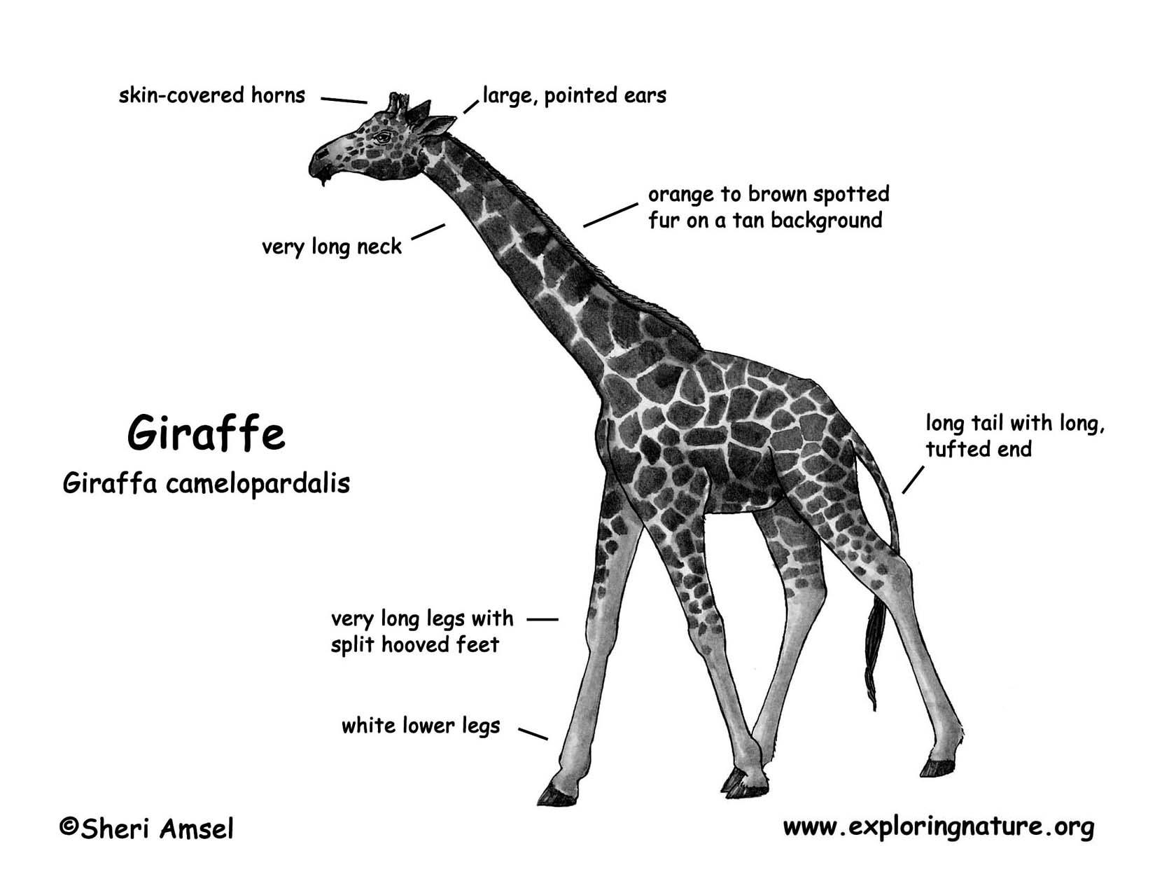 giraffe diagram