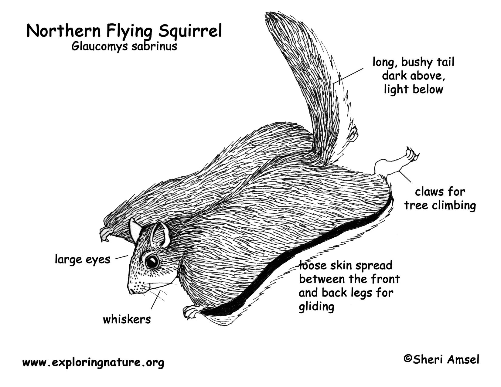 squirrel diagram