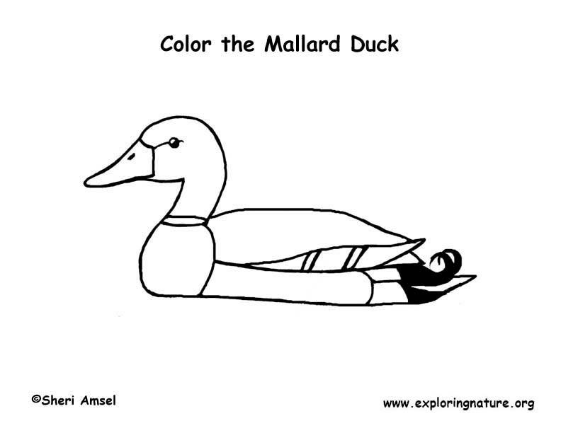 mallard duck coloring online
