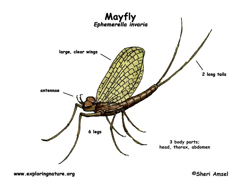mayfly diagram